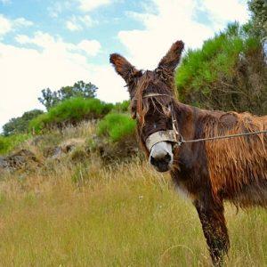 burro mirandes