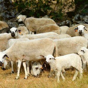 ovelhas miranda douro
